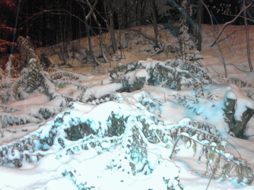 Kuvassa on talvinen metsä iltahämärässä. Kuvassa näkyy havupuita, saniaisia ja lunta.